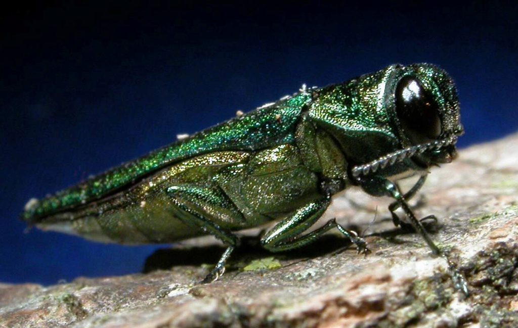 Emerald Ash Borer threatening Ash wood trees in North America