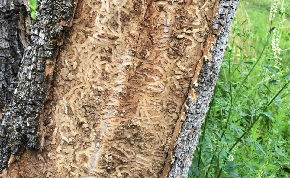 Ash trees are marked with s-shaped galleries or tunnels found beneath the bark when infested